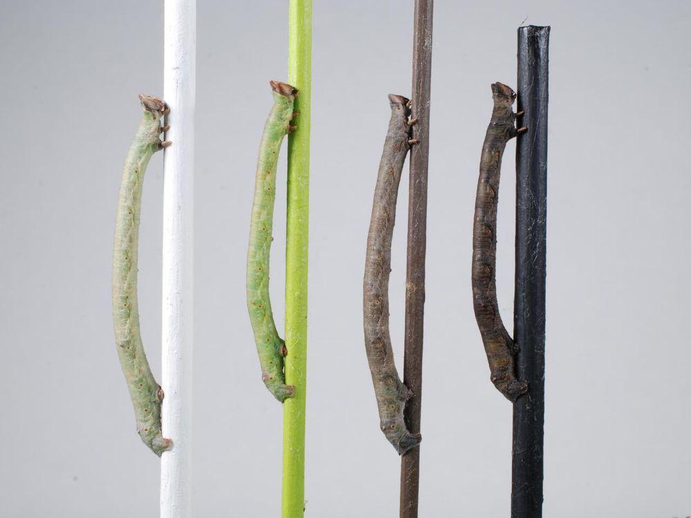 Peppered-moth-caterpillars-sense-color-through-their-skin.jpg