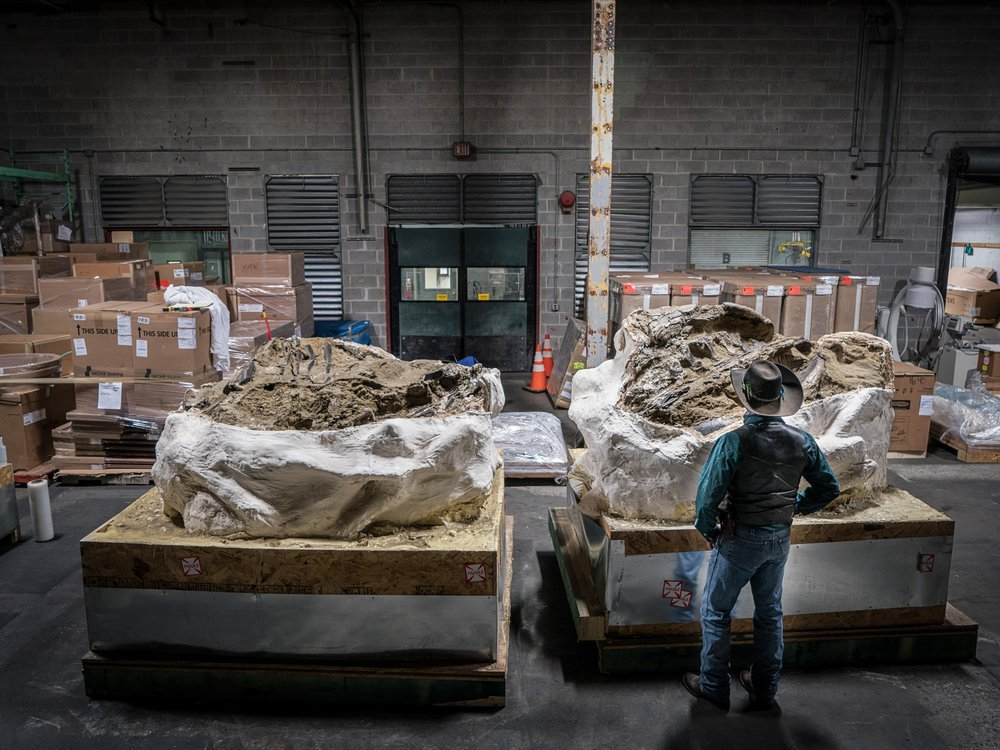 Clayton Phipps looks over the massive ceratopsian fossil