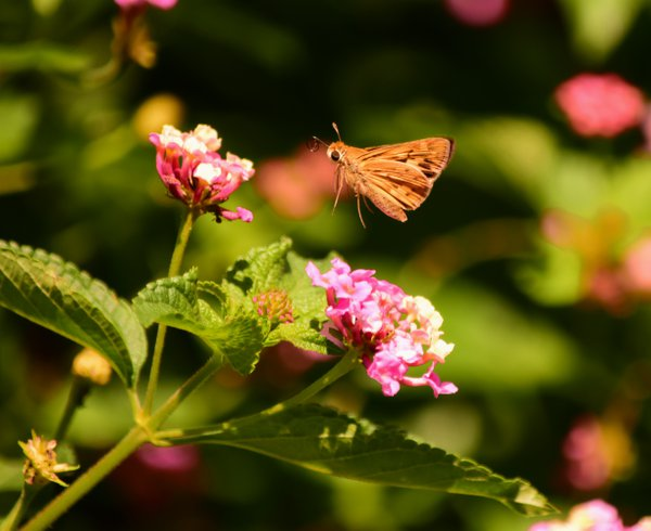 Moth in Flight thumbnail