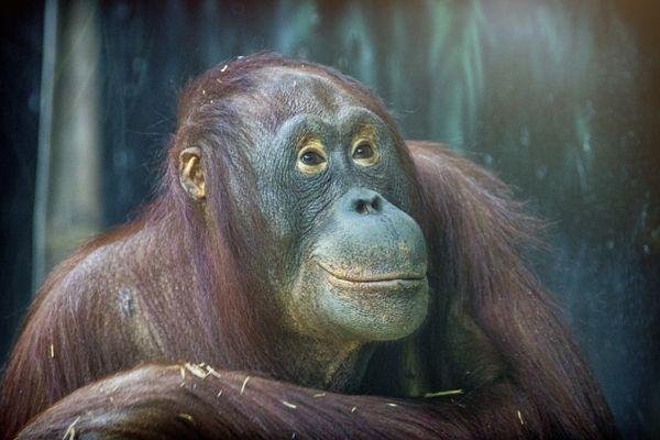 Portrait of an Bornean orangutan thumbnail