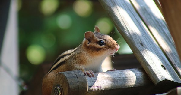 Geoff the chipmunk stops by to say hi. thumbnail