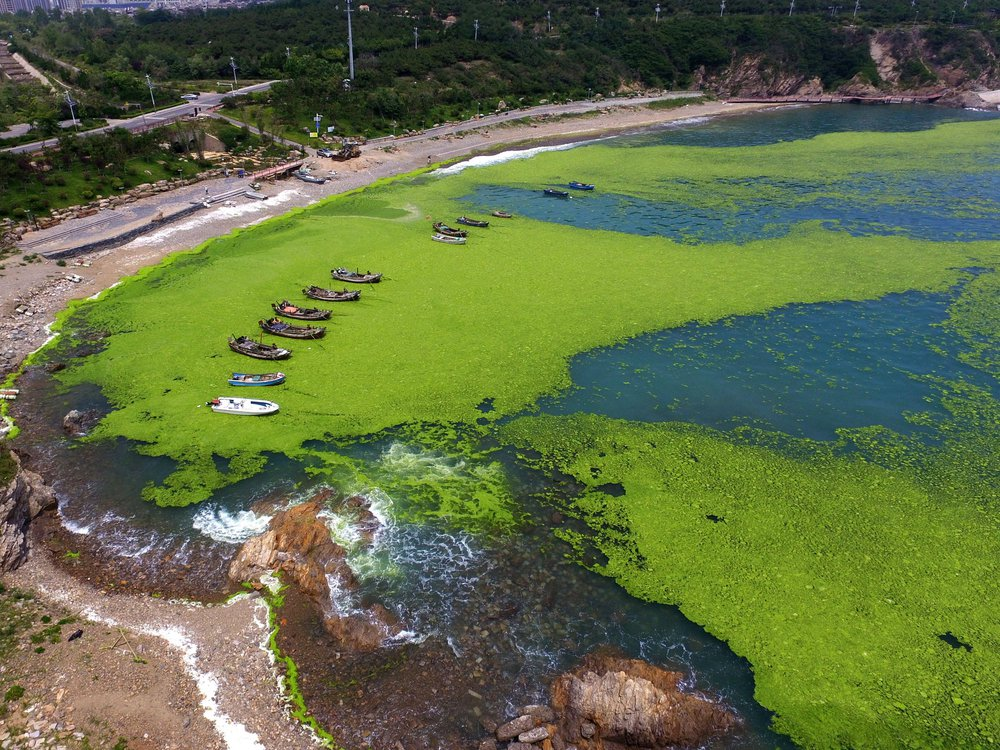 Algae in a bay in Qingdao, China's eastern Shandong province.