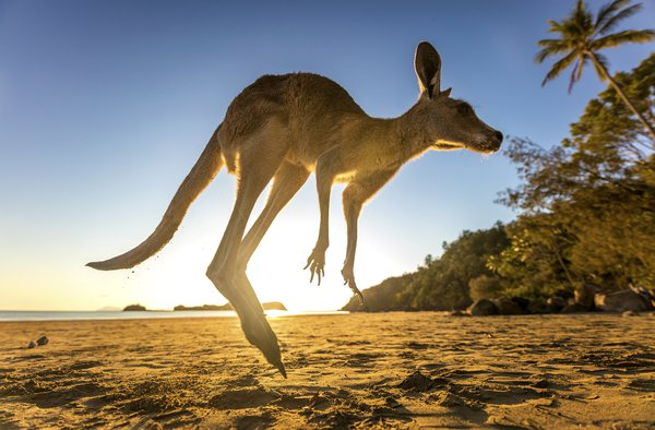 A kangaroo hopping off the beach just after sunrise thumbnail