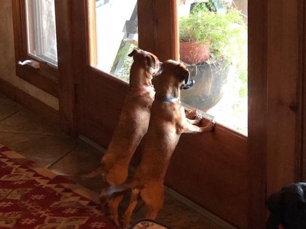 Josephine & Napoleon watching for their mistress thumbnail