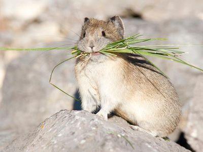 Temperature-sensitive pikas store grass for winter munching.