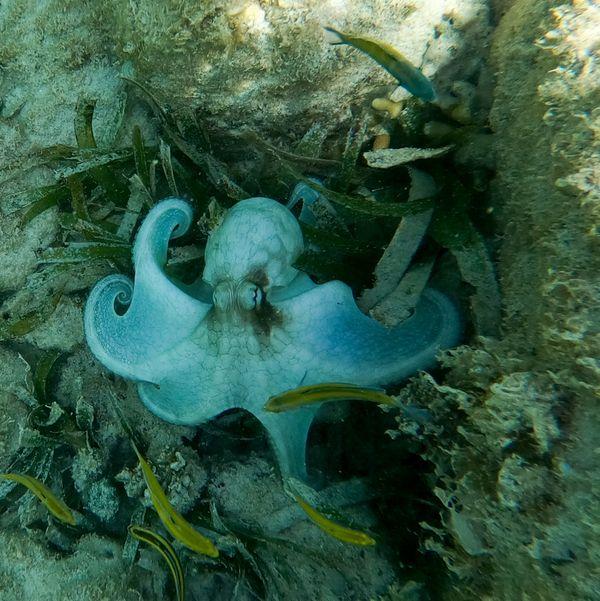 Octopus in Aruba 2 thumbnail