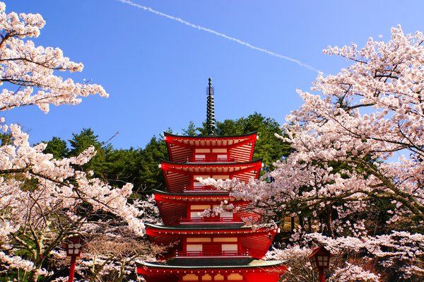 Five storey pagoda and cherry blossoms thumbnail