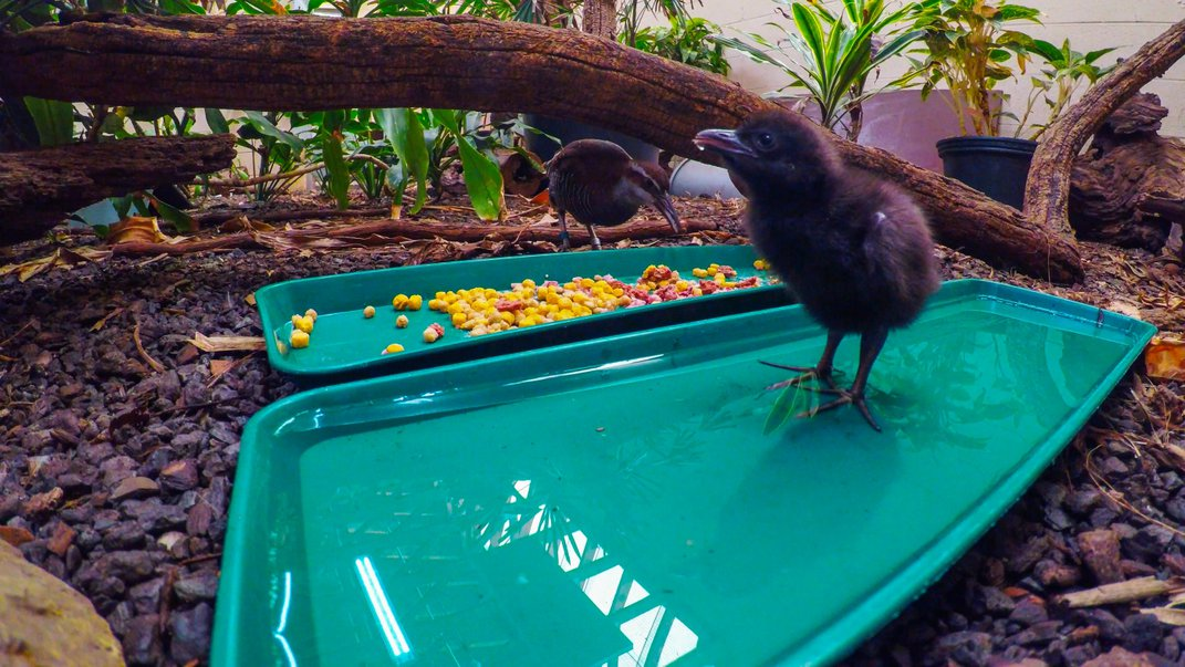 A Guam rail chick stands in a tray of water at the Smithsonian Conservation Biology Institute. An older bird eats from a tray of food behind it.