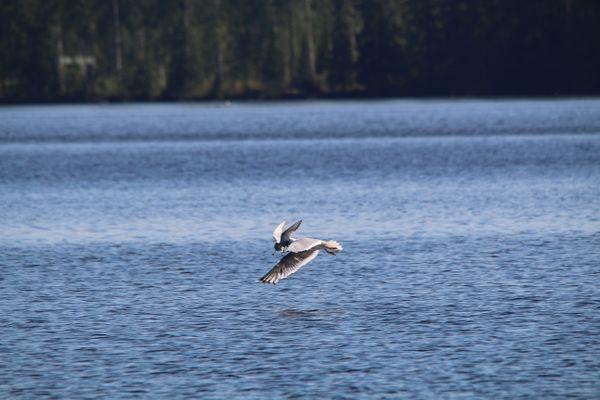 A gull is killing a tern thumbnail