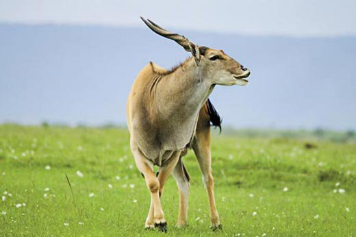 An Eland Antelope