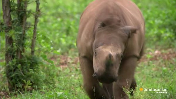 Preview thumbnail for Caring for a Wounded Rhino Calf
