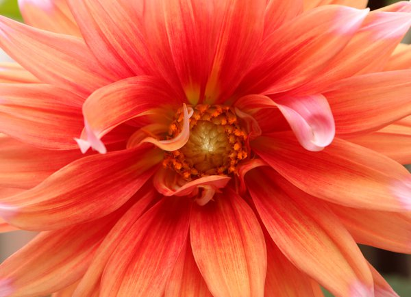 Dahlia in Full Bloom on a Fall Day thumbnail