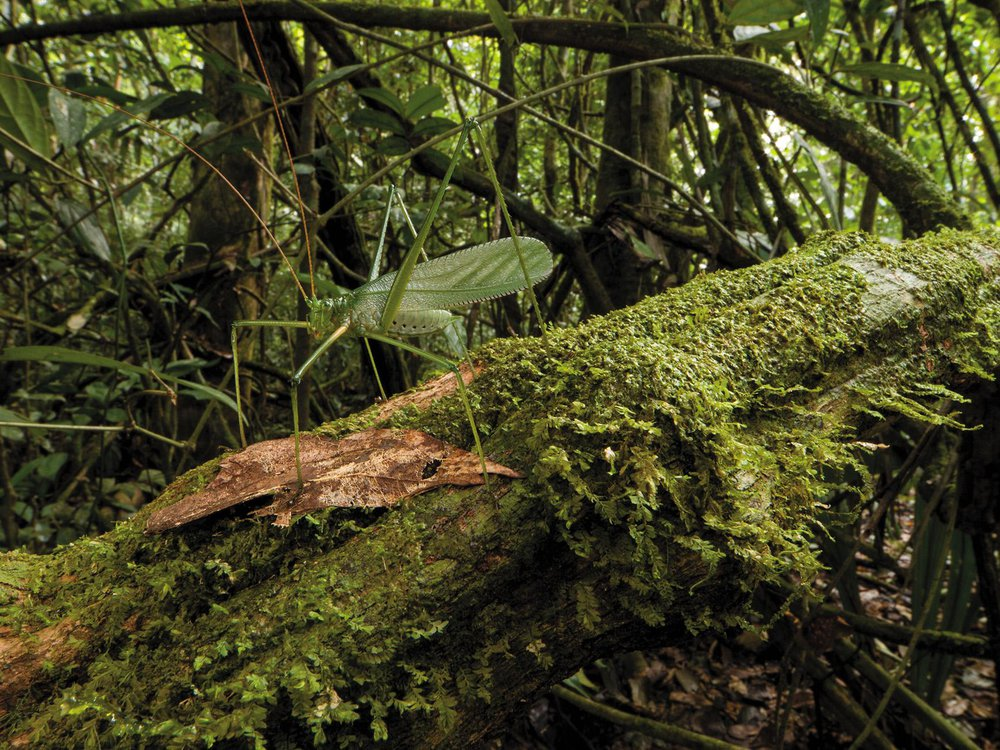 katydid species