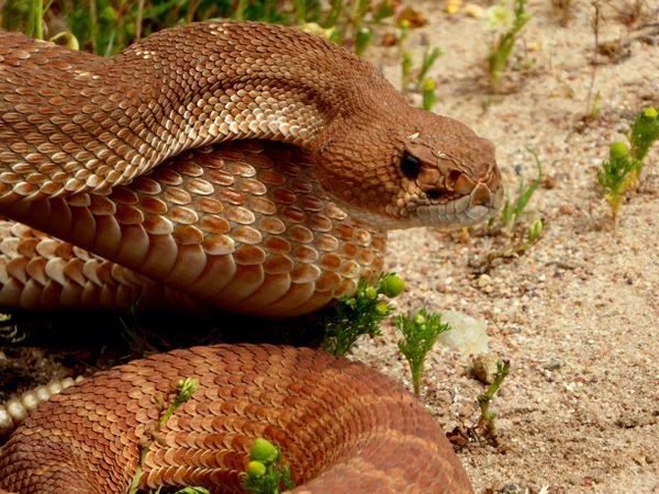 Red Diamond Rattlesnake shares the trail near San Diego California thumbnail