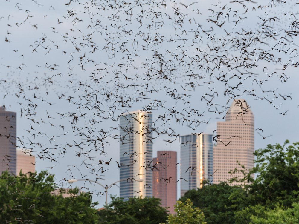 Bats flying with Houston skyline in background