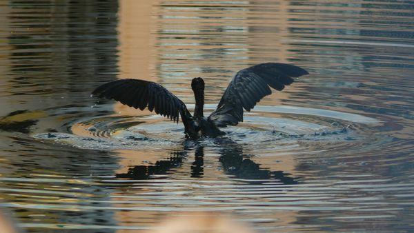 The Black Swan thumbnail