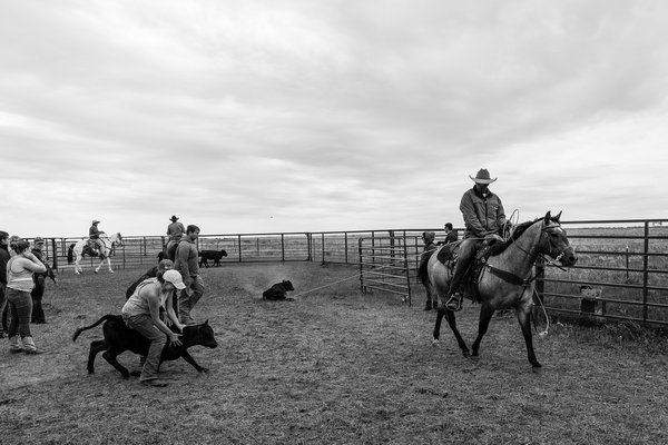 Cattle Branding in Fairview, Montana thumbnail