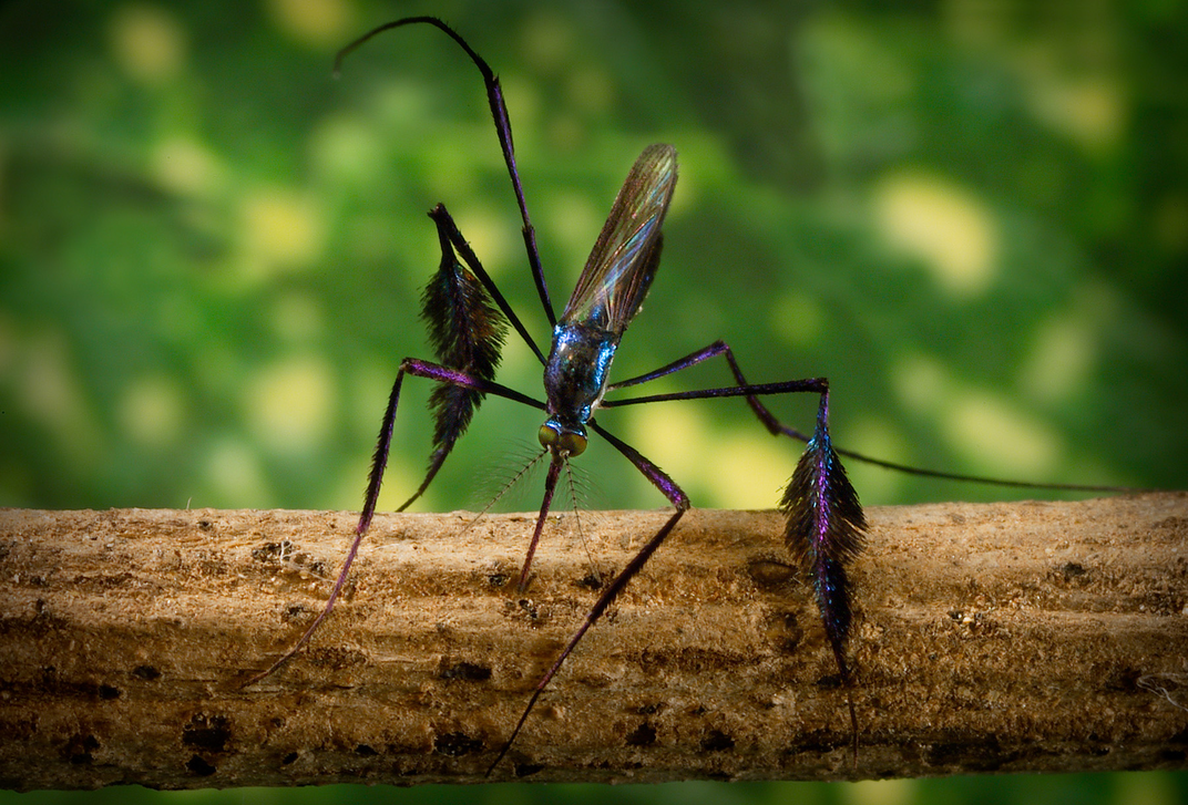 Blue, black and purple mosquito on a branch