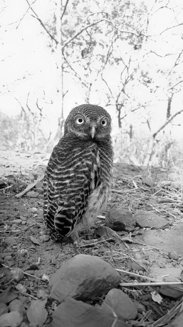 Jungle Owlet thumbnail