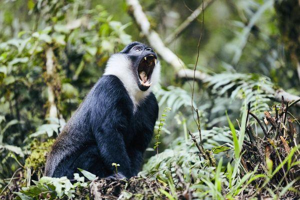 L'hoest monkey thumbnail