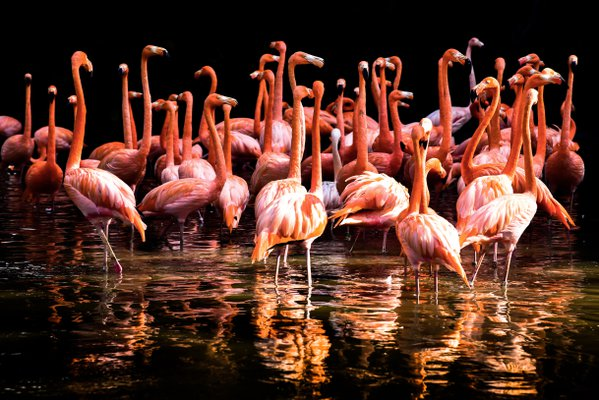 Dancing Flamingo thumbnail