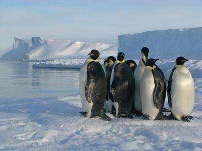 Emperor penguins standing on sea ice at the Brunt ice shelf in Antarctica.