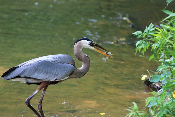 Great Blue Heron with a Small Fish thumbnail