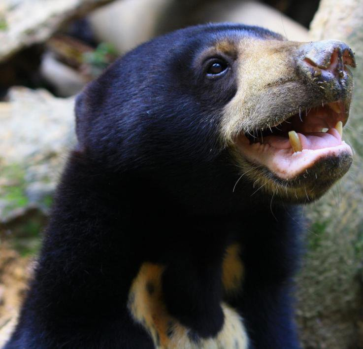 Sun Bears Mimic Each Other's Facial Expressions to Communicate