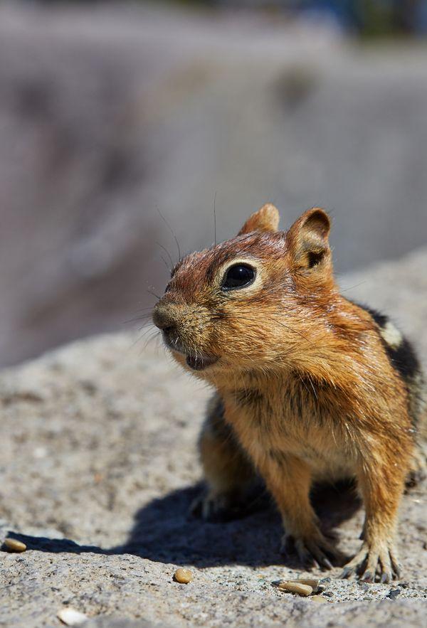 A chipmunk portrait at Crater Lake, Oregon thumbnail