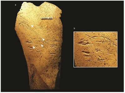 Potential human ancestor Homo heidelbergensis used this 480,000-year-old bone hammer to create flint tools.