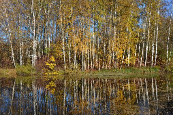 A bright Autumn day in Meadow Park near Petershof, Russia thumbnail