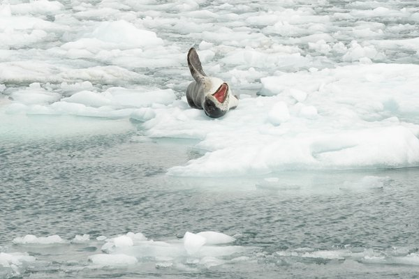 Leopard seal in the fjords of Chilean Patagon thumbnail