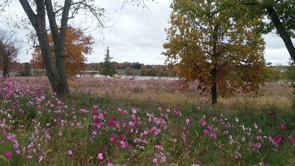 Field of Pink Cosmos thumbnail