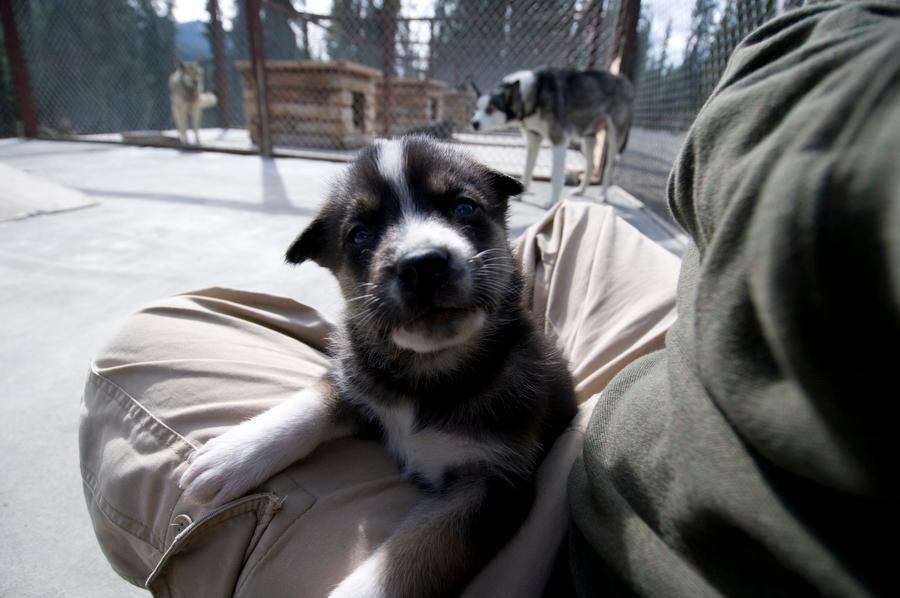 How Denali National Park's Sled Dogs Prepare for Winter