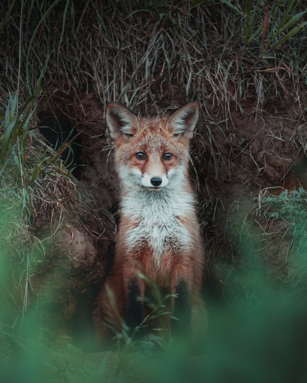 little red fox puppy thumbnail