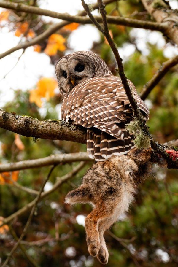 Barred Owl: A Bird of Prey thumbnail