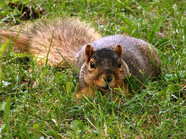 A squirrel in Garfield Park waits for more food from two people at an afternoon picnic. thumbnail