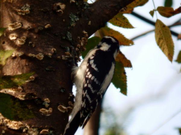 Downy Woodpecker thumbnail