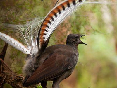 A male superb lyrebird