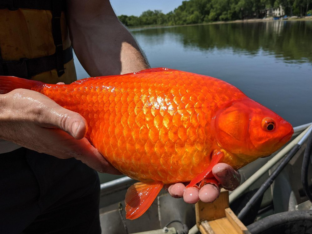 A giant, football-sized goldfish is held in a boat. A lake can be seen in the background.