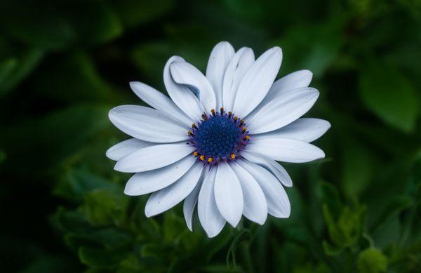 White Daisy thumbnail