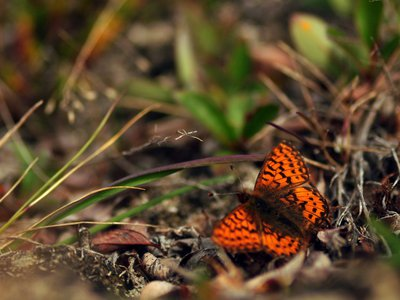 The wings of the Arctic fritillary butterfly have decreased in size since 1996.
