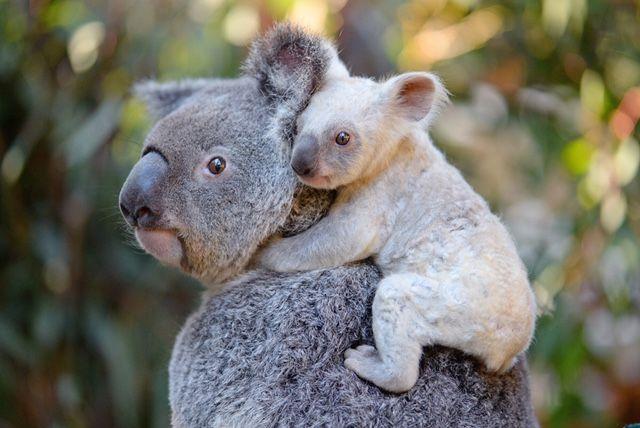 2710B_KoalaJoeys_AustraliaZoo.jpg