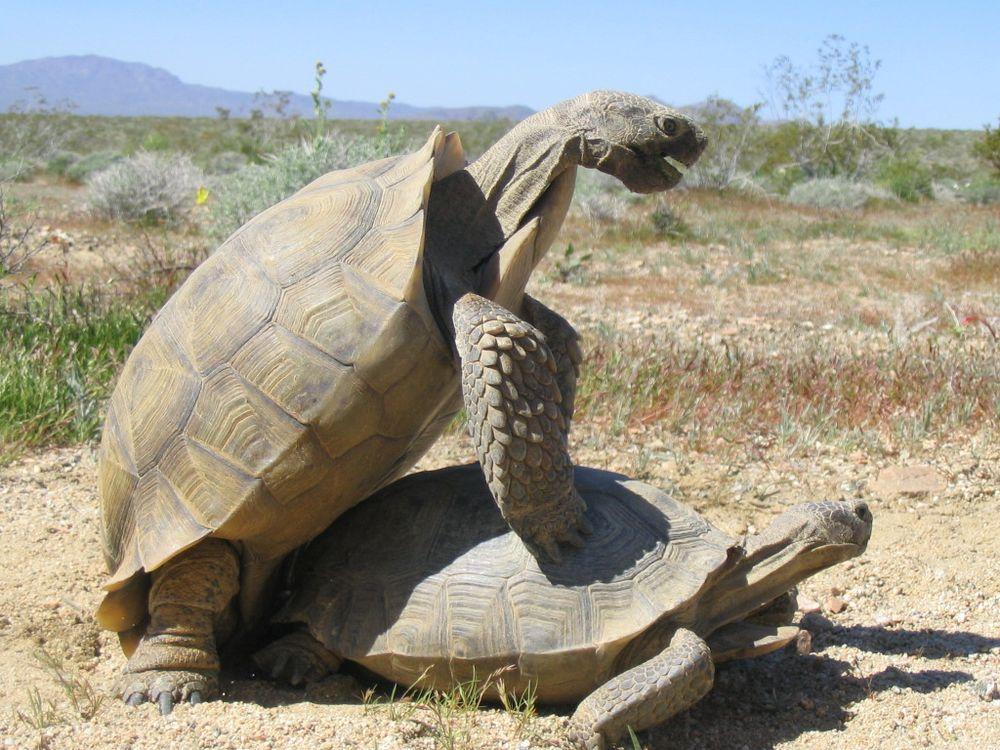 Tortoise mating