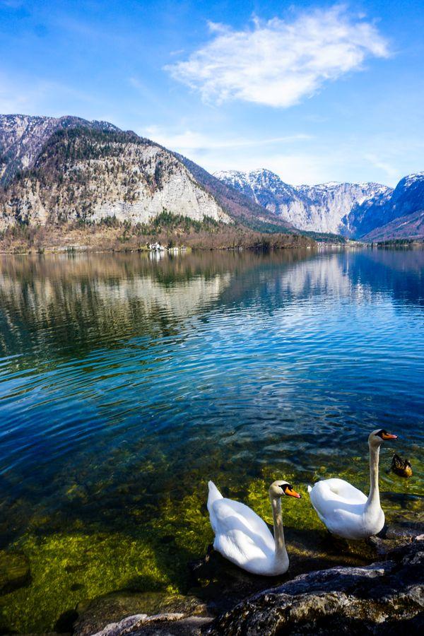 Swans in Hallstat, Austria thumbnail