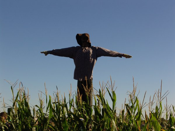 Scarecrow among the crops in Illinois thumbnail