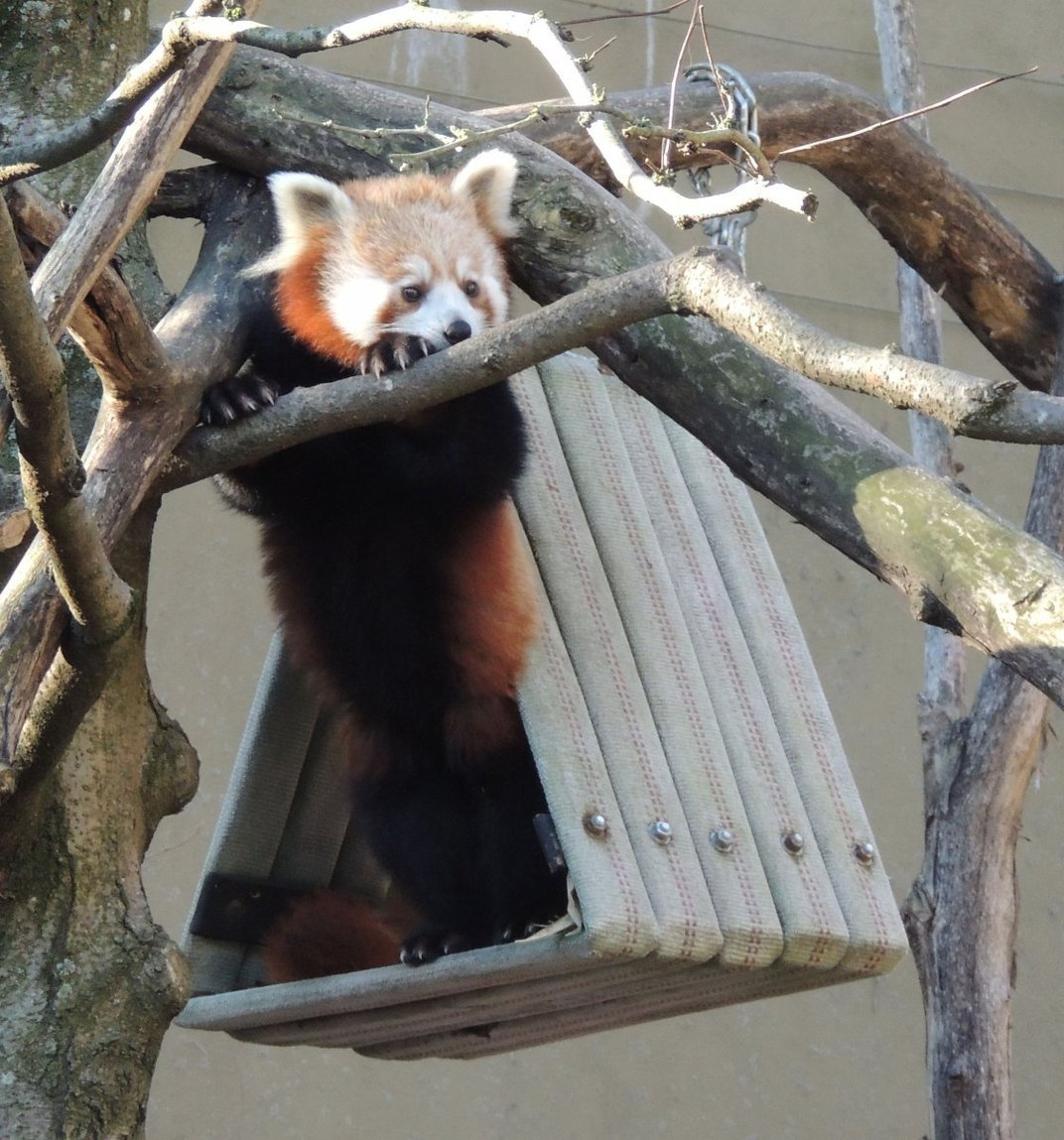 A red panda in a treehouse.