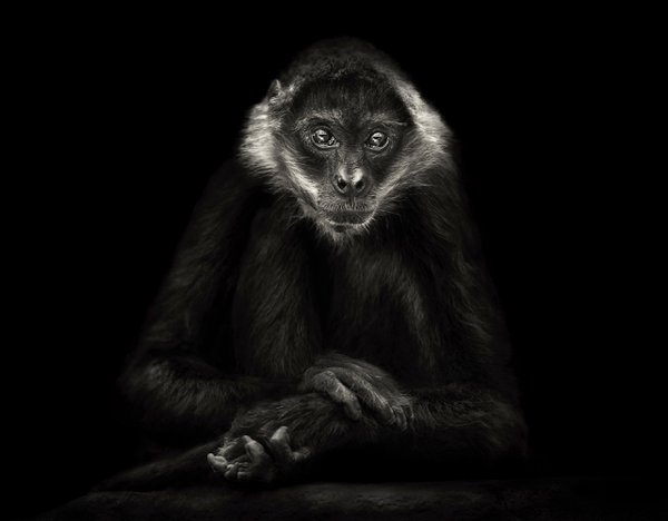 Portrait of a Spider Monkey thumbnail
