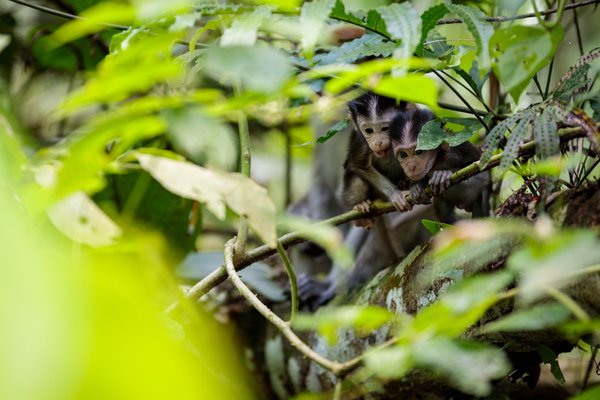 Pair of Infant Long-tailed Macaques Fighting for a View thumbnail