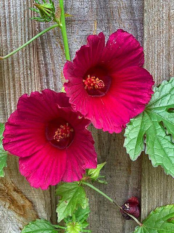 A Gorgeous Cranberry Bloom thumbnail